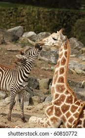 Zebra trying to kiss a giraffe