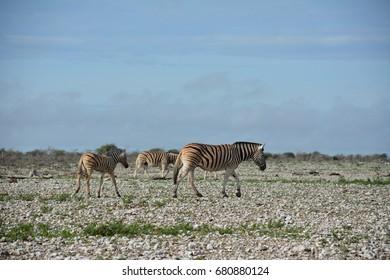 Zebra walking with baby in Etosha National Park, Namibia