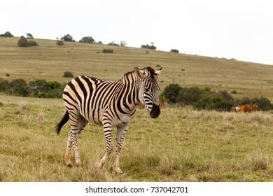 Zebra walking in the field of Addo Elephant National Park.