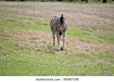 the zebra is walking in the grass