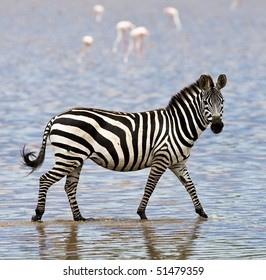 Zebra walking in shallow water in the Serengeti National Park, Tanzania