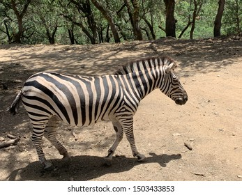 A zebra walking and swooshing its tail in front of a green trees with dark brown trunks that resemble the striped pattern of the zebra. The zebra's shadow is seen on the dusty dirt road.