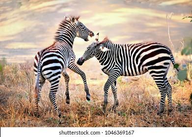 Zebra. Wild animals on the African grasslands, zebras.