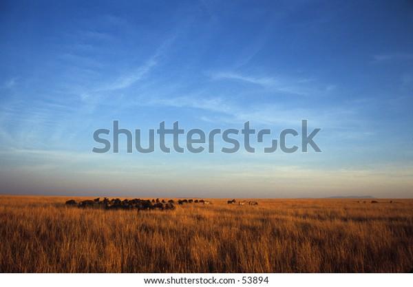 zebra and wildebeest herd