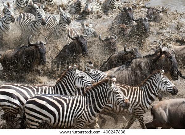 zebra & wildebeest migration
