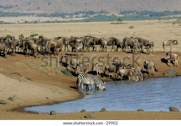 Zebra and Wildebeests