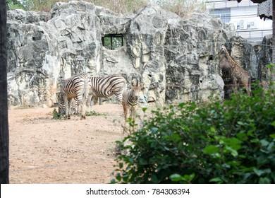 the zebra at the yard