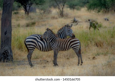 Zebra and a young zebra with baby brown hair, mother has head resting on baby, with green blurred background