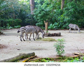 Zebra.  Zebras are a variety of wild horses. All zebras have the same type of coloring - black and white stripes.