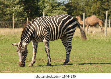 Zebra at the Zoo