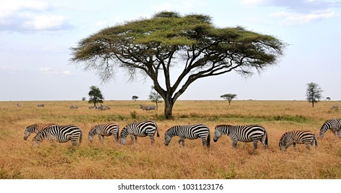 Zebras and acacia tree