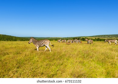 Zebras in Addo Elephant National Park in Port Elizabeth - South Africa