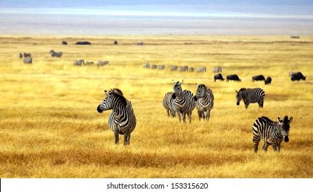 zebra's in africa walking on the savannah