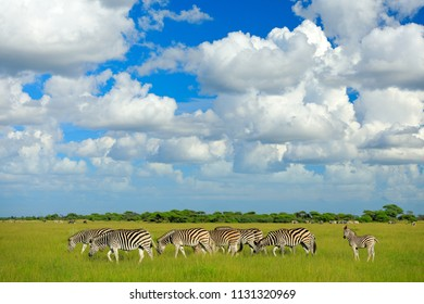 Zebras with blue sky and white clouds. Burchell's zebra, Equus quagga burchellii, Nxai Pan National Park, Botswana, Africa. Wild animal on the green meadow. Wildlife nature, safari in rainy season.