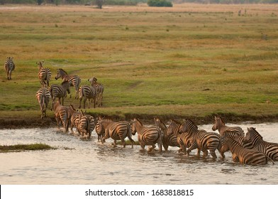 Zebras crossing river in a line to graze on the other bank