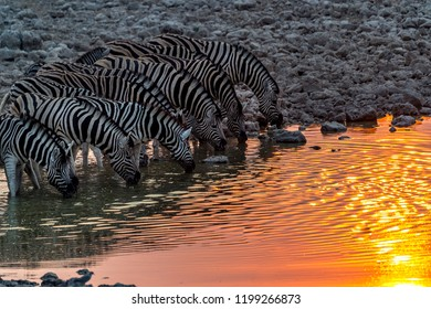 The zebras drinking under sunset in Etosha National Park of Namibia.