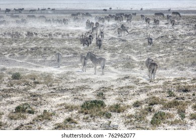 Zebras in the dry Etosha Pan