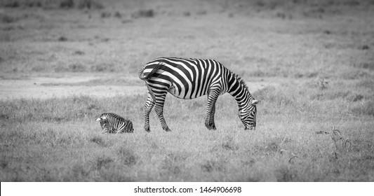 Equus Quagga Images, Stock Photos & Vectors | Shutterstock