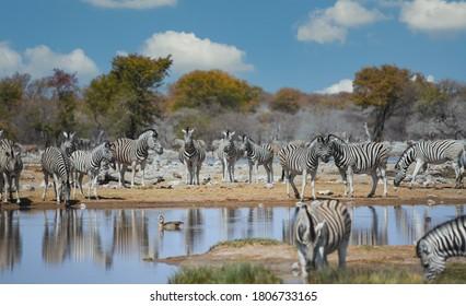 Zebras im Etosha-Nationalpark Namibia Südafrika