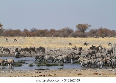 Zebras in the Etosha National Park in Namibia