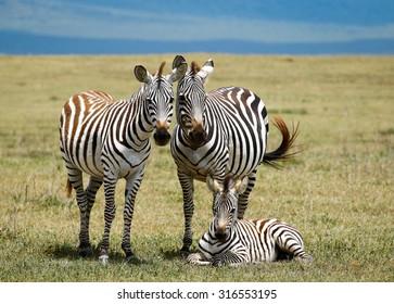 Zebras family