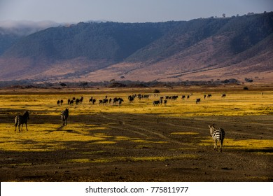 zebras in front of animal herds in the african ngorongoro crater with brown and yellow ground and the crater edges in the background