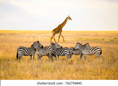Zebras and a giraffe all together in Serengeti National Park, Tanzania