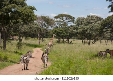 Zebras and giraffes are on the road in the green forest. Zimbabwe, Africa, animals, natural park, Zoo, fauna.