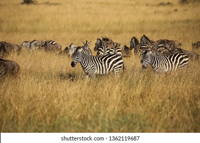 Zebras and Gnus in the savannah of the Masai Mara