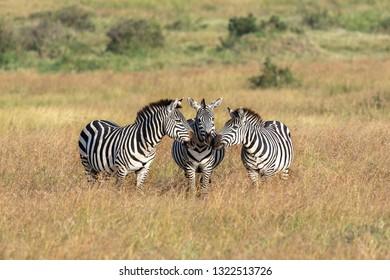 Zebras graze at the African Savannah
