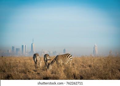 Zebras grazing in Nairobi