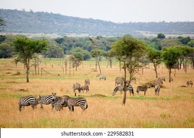 Zebras grazing in Serengeti National Park, Africa