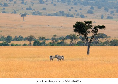 Zebras grazing in a valley of Masai Mara, Kenya