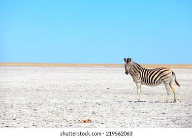Zebras in The Great Salt Pans - Makgadikgadi and Nxai - Botswana