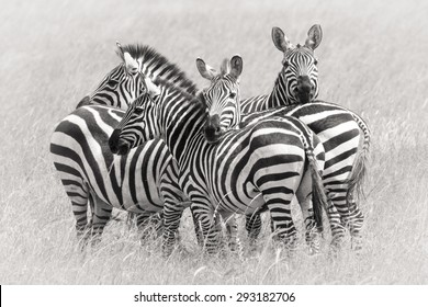 zebras in the group