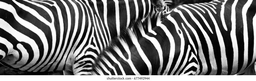 Zebras in group with stripes of black and white blending texture in the wild. Photo taken in monochrome with highlight on the texture