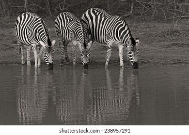 Zebras having a drink