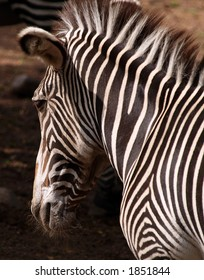 Zebra's head and shoulders isolated.