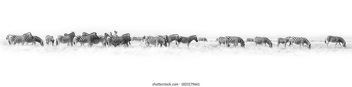 Zebras herd white background isolated, black and white art border, striped animal pattern, african wild nature landscape, monochrome wallpaper, decorative ornament, frame, banner design, trendy print
