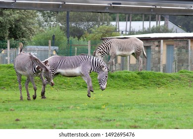 Zebras jumping and playing on a grass