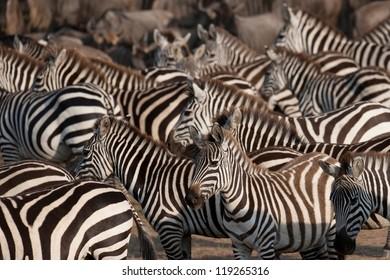 Zebras in Kenya, Africa