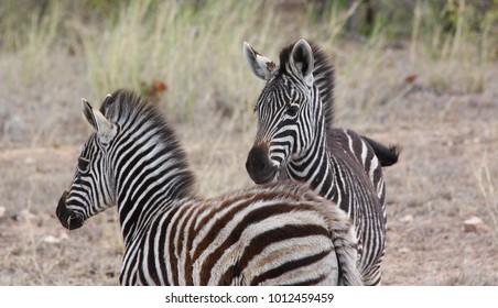 Zebras in the Kruger National Park, South Africa