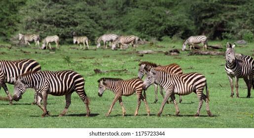 Zebras in the Lake Manyara National Park, Tanzania