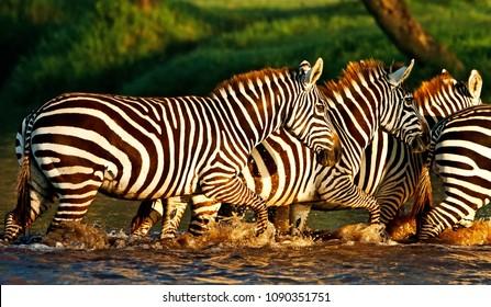Zebras in the Lake Nakuru National Park, Kenya