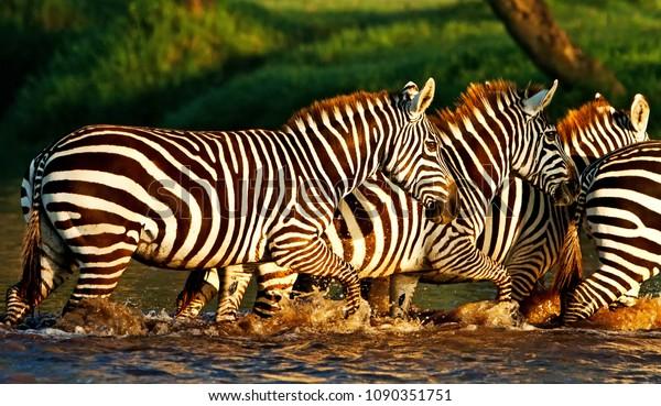 Zebras im Nakuru-Nationalpark-See, Kenia
