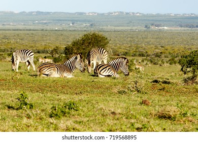 Zebras laying, while the other is standing and eating grass in the field.