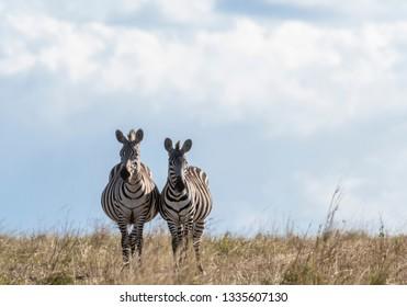 Zebras looking up for predators while feeding grass in Maasai Mara