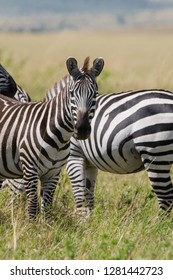 Zebras in the Maasai Mara National Park, Kenya