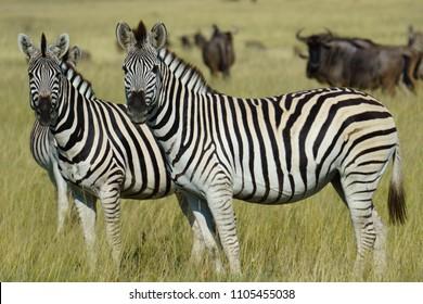Zebras, Makgadikgadi Pans National Park, Botswana