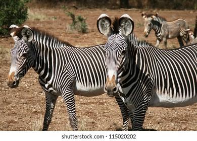 Zebras in Masai Mara, Kenya